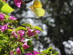 yellow butterfly pink bouganvillia
